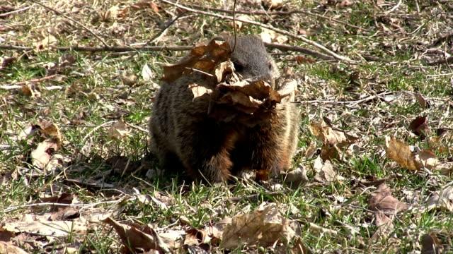 stockvideo's en b-roll-footage met nesting groundhog - dierenhol