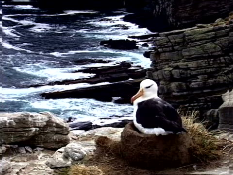 a nesting gull on a rocky cliff - artbeats stock videos & royalty-free footage
