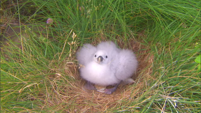 a nesting gull vocalizes in grass. - hen stock videos & royalty-free footage