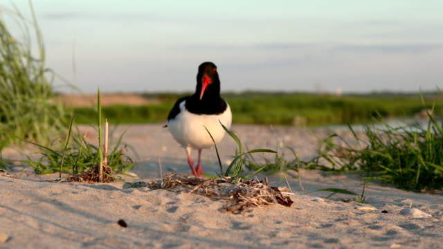 nesting oystercatcher - bird's nest stock videos & royalty-free footage