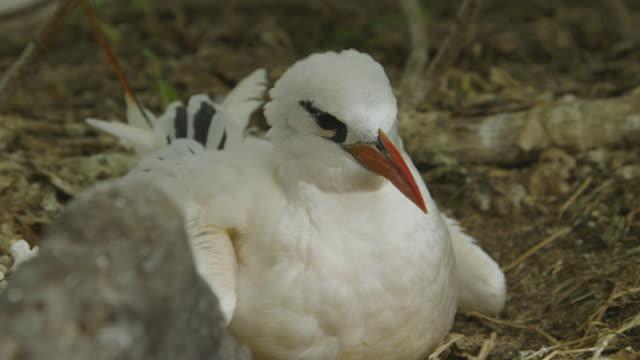 vidéos et rushes de nestling red-billed tropicbird, lady elliot island - extreme close up