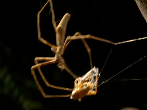 netcaster spider pulls ensnared cricket prey towards its jaws - apparato digerente animale video stock e b–roll