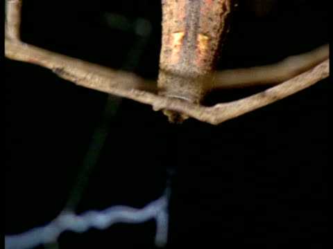net-casting spider (dinopis) - cu making silk net, australia - gliedmaßen körperteile stock-videos und b-roll-filmmaterial