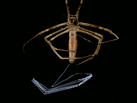 net-casting spider (dinopis) - ms making silk net, australia - animal abdomen stock videos and b-roll footage