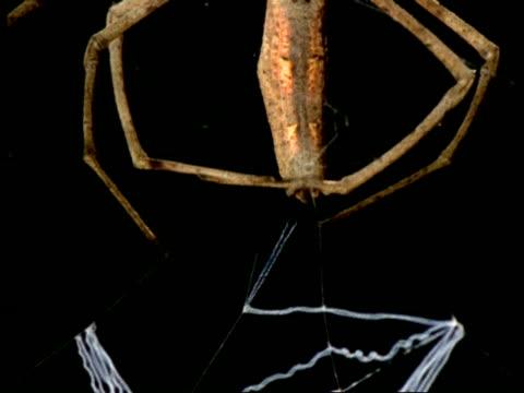 Net-casting Spider (Dinopis) - MS/CU making silk net, Australia