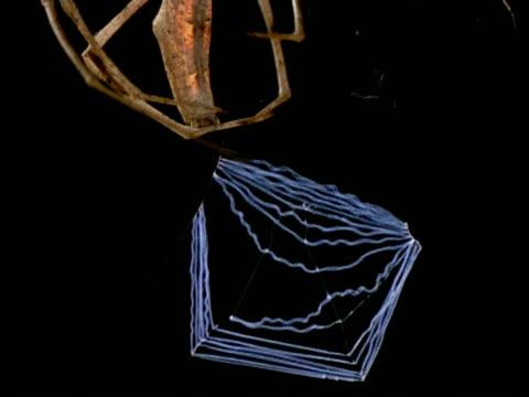 net-casting spider (dinopis) - cu tilt up from net to spider, australia - gliedmaßen körperteile stock-videos und b-roll-filmmaterial
