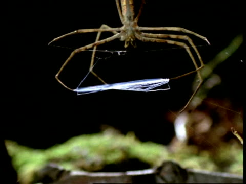 net-casting spider (dinopis) - cu zoom out ms legs stretch out net, australia - silk stock videos and b-roll footage