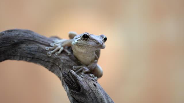 Netherlands, Bonaire Island, Dutch Caribbean, Kralendijk, Coqui Antillano or Whistling Tree frog ( Eleutherodactylus johnstonei )