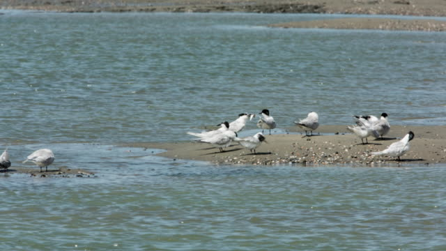 netherlands, breskens, terns on the sandy mudflats of the westerschelde river at low tide - low tide stock videos & royalty-free footage