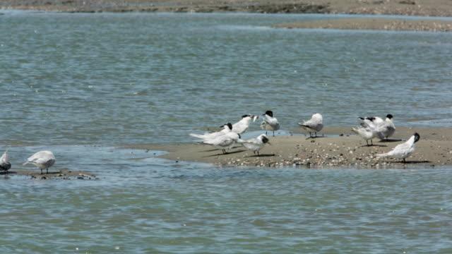 Netherlands, Breskens, Terns on the sandy mudflats of the Westerschelde river at low tide