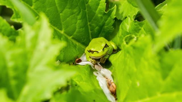 Netherlands, Echt, Nature Reserve De Doort. Treefrog in hogweed