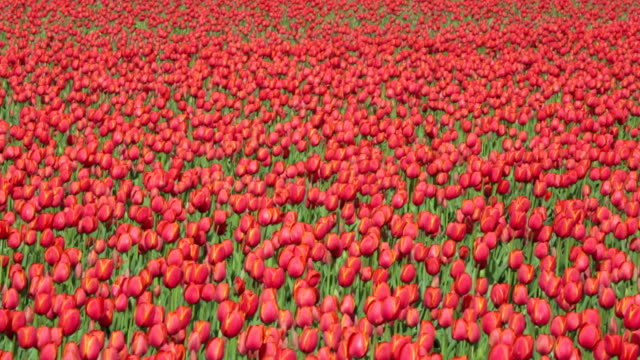 Netherlands, Espel. Tulip field