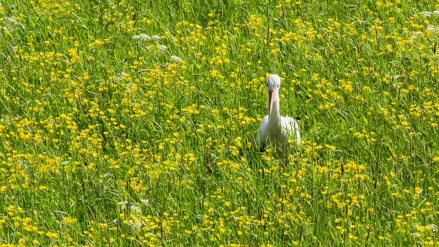 stockvideo's en b-roll-footage met netherlands, gorssel, floodplains of ijssel river. stork between buttercups flowers - ranonkel