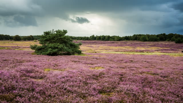 Netherlands, Havelte, Flowering heathland or moorland called Holtingerveld Heide. Cyclist. Woman