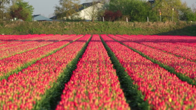 netherlands, hillegom, tulip field, cyclist - tulip stock videos and b-roll footage