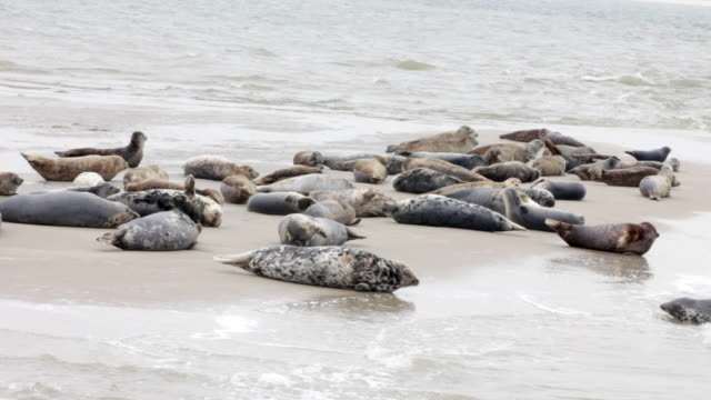 netherlands, hollum, ameland island, wadden sea islands. unesco world heritage site. seals on beach - robbe stock-videos und b-roll-filmmaterial