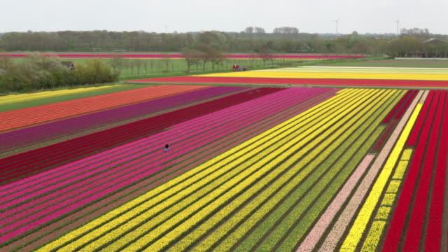 netherlands, krabbendam, aerial view of tulip fields, farmer at work, looking for sick plants, aerial view - 北ホラント州点の映像素材/bロール