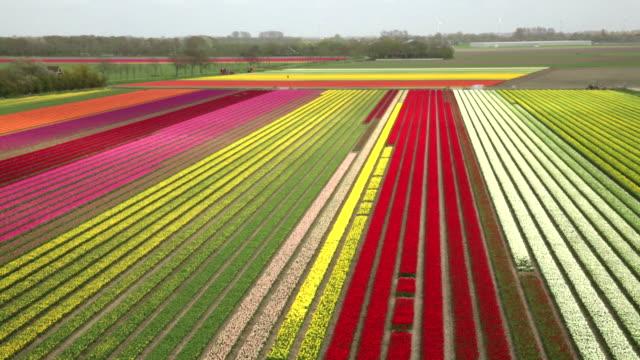 netherlands, krabbendam, flowering tulip fields, car, aerial view - 北ホラント州点の映像素材/bロール