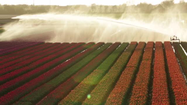 Netherlands, Krabbendam, Flowering tulip fields, Sprinkler, Aerial view