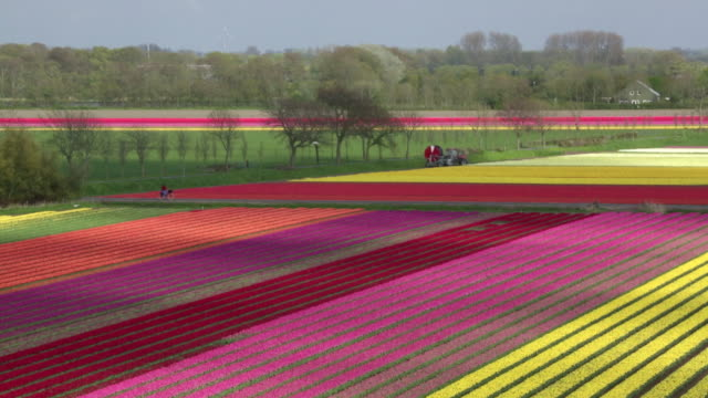 vídeos de stock, filmes e b-roll de netherlands, krabbendam, flowering tulip fields, woman, cyclist, aerial view - eco tourism
