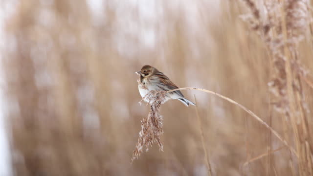 netherlands, lelystad, national park called oostvaardersplassen. reed bunting (emberiza schoeniclus) eats seeds of reed - reed grass family stock videos and b-roll footage