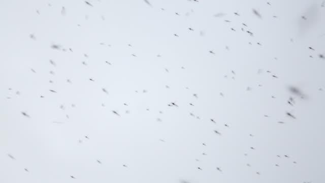 Netherlands, Lelystad, National Park Oostvaardersplassen. Mosquitoes