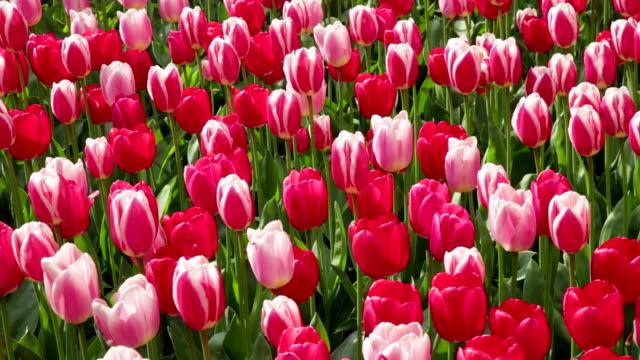 Netherlands, Lisse, Keukenhof gardens, Tulips