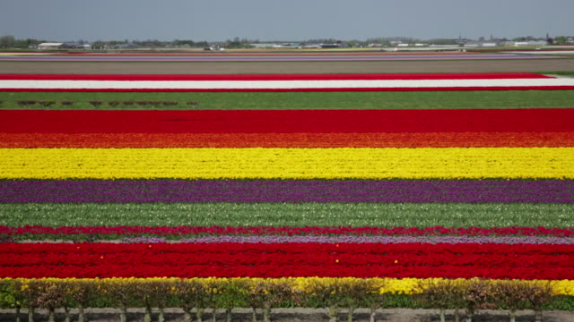 netherlands, lisse, tulip fields, high angle view from keukenhof gardens - tulip stock videos and b-roll footage