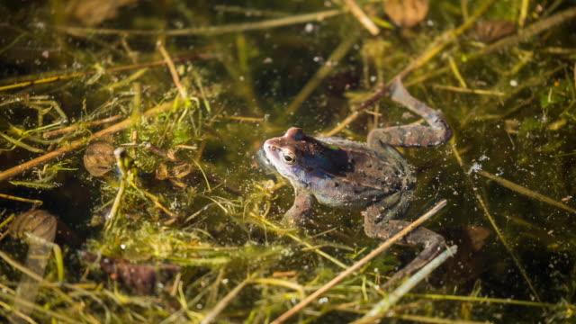 Netherlands, Loon op Zand, Moor Frog in  pond
