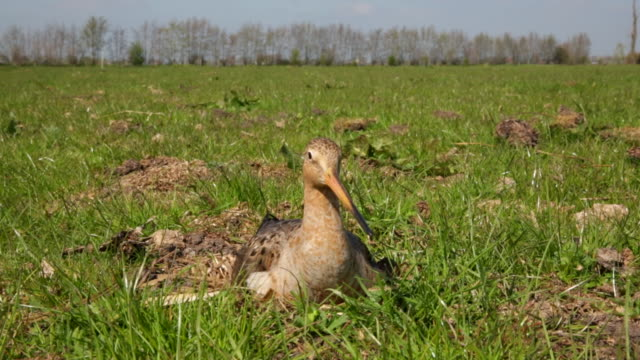 vídeos de stock, filmes e b-roll de netherlands, montfoort, godwit on nest, female - pilrito