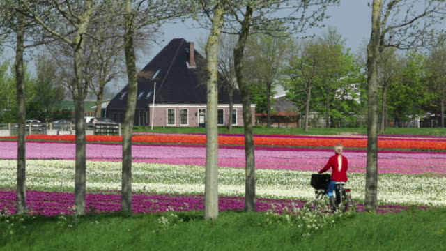 netherlands, noordbeemster, beemster polder, a unesco world heritage site, flowering tulip fields in front of typical farm called stolpboerderij, cyclist - polder stock videos and b-roll footage