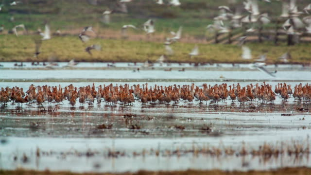netherlands, ouderkerk aan de amstel, godwits and other waterfowl - polder stock videos and b-roll footage