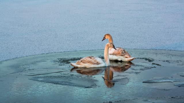 stockvideo's en b-roll-footage met netherlands, reeuwijk, mute swans in polder canal. ice, winter - knobbelzwaan