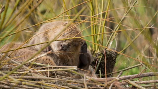 Netherlands, Rhoon, Nature Reserve Rhoonse Grienden. Tidal marshland with willow trees. European beaver ( Castor fiber )