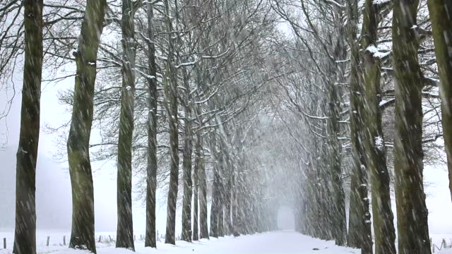 Netherlands, 's-Graveland, Beechlane in snow storm