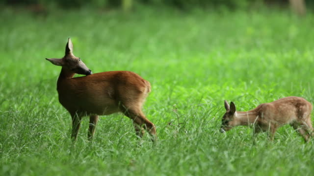 netherlands, 's-graveland, deer or roe and young - fawn stock videos and b-roll footage
