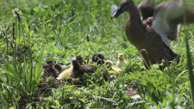 stockvideo's en b-roll-footage met netherlands, 's-graveland, female wild duck and chicks - eend watervogel