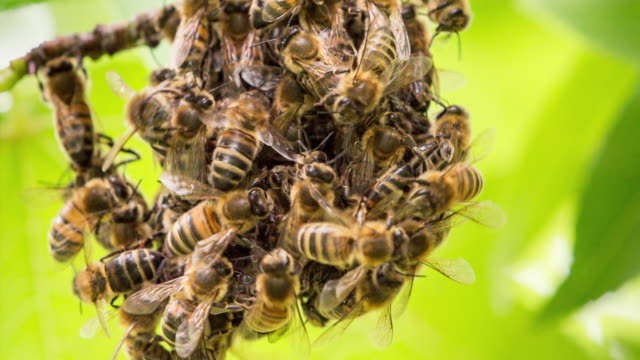 Netherlands, 's-Graveland, Honey bees gathering together at branche