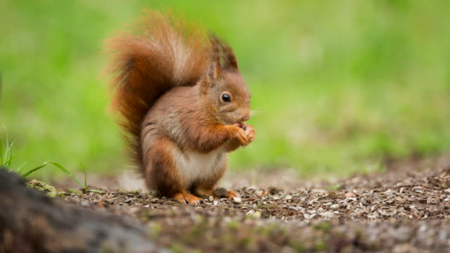 netherlands, 's-graveland, red squirrel - squirrel stock videos and b-roll footage