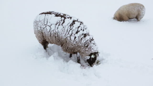 netherlands, 's-graveland, rural estate called gooilust. winter, snow. sheep - olanda settentrionale video stock e b–roll