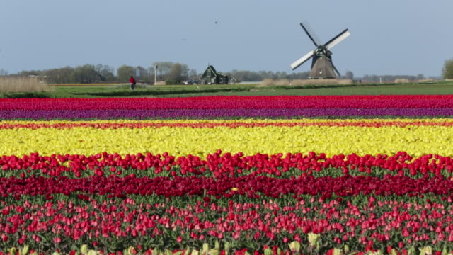 stockvideo's en b-roll-footage met netherlands, sint maartensbrug, flowering tulip fields, turning windmill - nederland