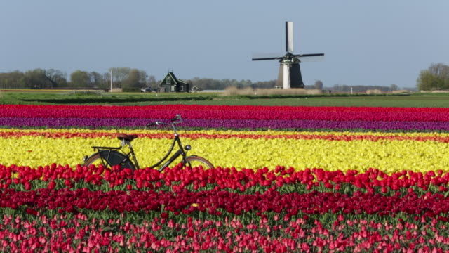 netherlands, sint maartensbrug, flowering tulip fields. turning windmill. bicycle - mill stock videos & royalty-free footage
