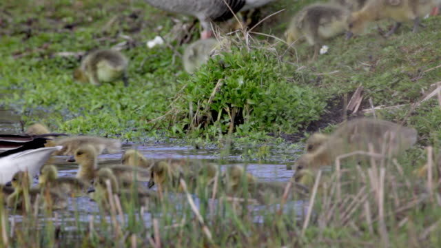 netherlands, sint maartensvlotbrug, greylag geese, anser-anser, with young in lake - グレイグース点の映像素材/bロール