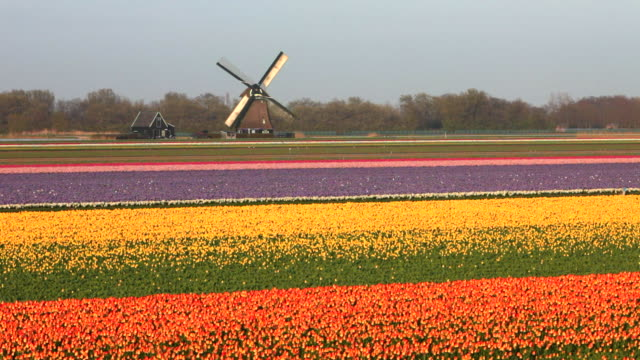netherlands, sint maartensvlotbrug, tulip flowers in field. woman, cyclist cycles in front of windmill - tulpe stock-videos und b-roll-filmmaterial