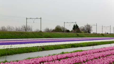 stockvideo's en b-roll-footage met netherlands, vogelenzang, flowering hyacinths, orange royal kings train passing by. - economie