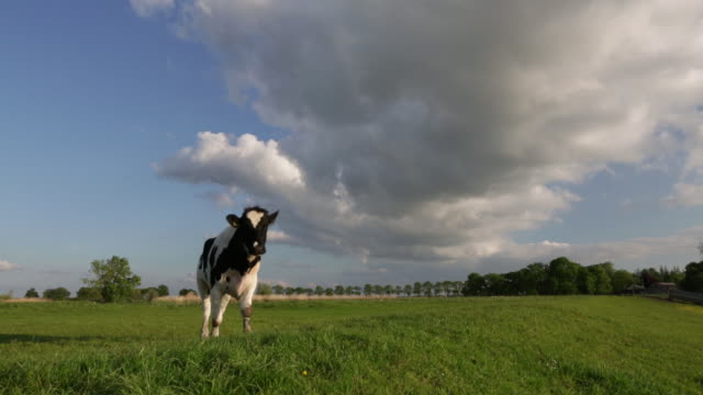 netherlands, weesp, cow in meadow - cow stock videos & royalty-free footage