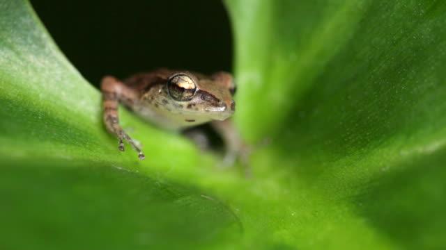 Netherlands, Windwardside, Saba Island, Dutch Caribbean. Whistling Tree Frog ( Eleutherodactylus johnstonei ) on Heliconia plant