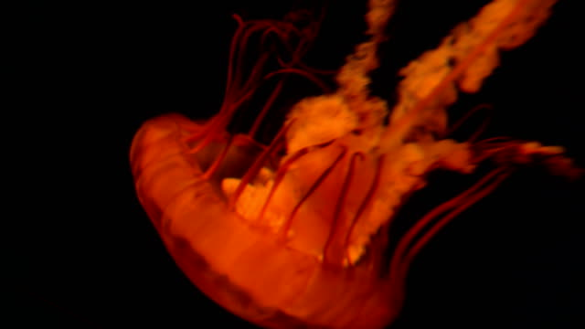 4k nettle jellyfish moving slowly - nettle stock videos & royalty-free footage