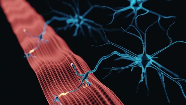neuromuskuläre kreuzung - hirnnerv stock-videos und b-roll-filmmaterial