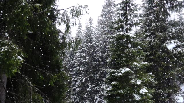 nevica in un bosco di pini - neve stock videos & royalty-free footage